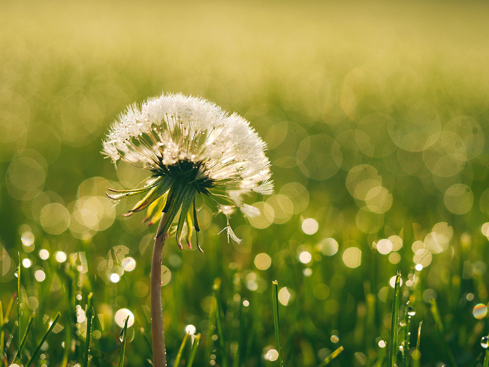 The Counseling Connoisseur: Dandelion Strong: Lessons From